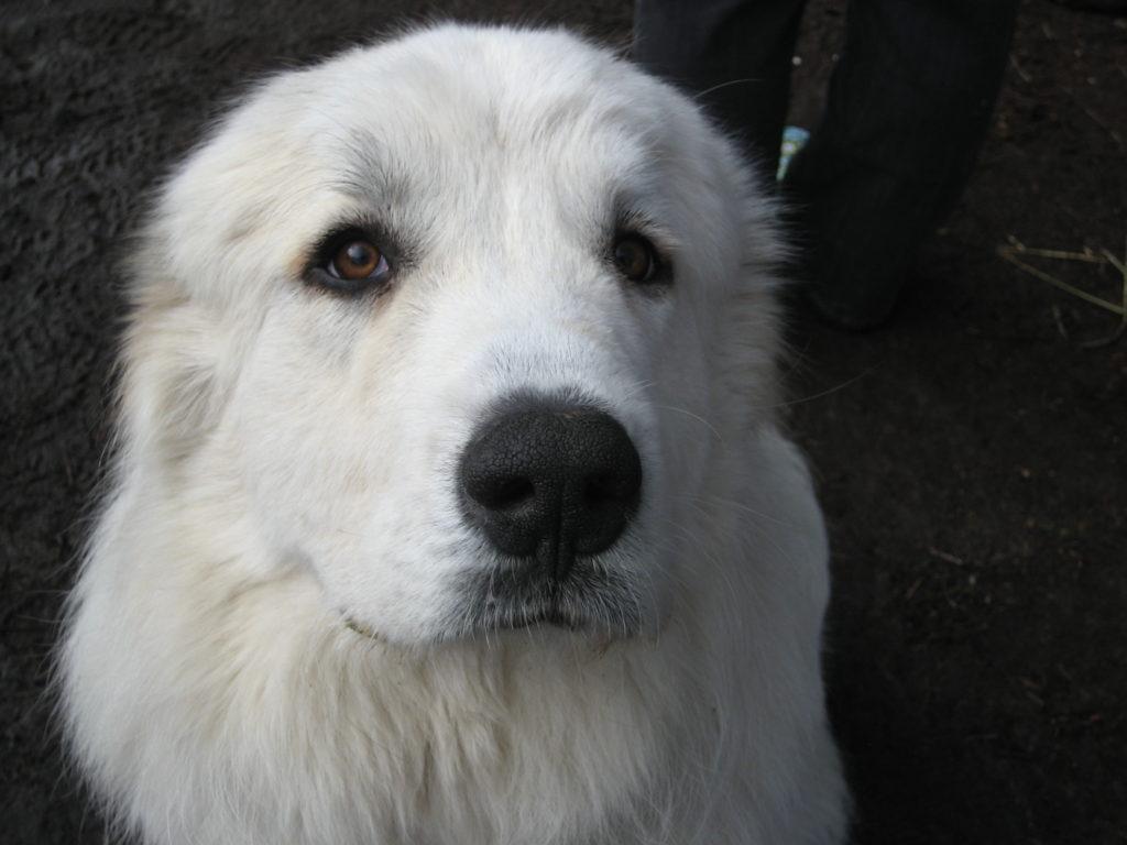 Lifestock Guardian Dogs